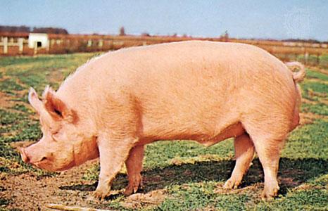 Hiç domuz etinin tadı nasıldır merak ettiniz mi?