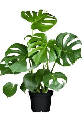 Evde bitki yetiştiriyor musunuz? Varsa hangi bitkiler?