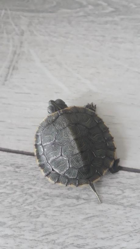 Kaplumbağam kabuk mu değiştiriyor? Neden beyaz beyaz şeyler var?