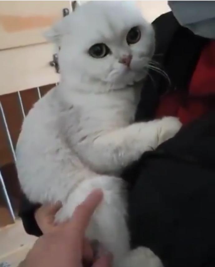 Bu kedi cinsiden almak istiyorum, sizce çok tatlı değil mi?