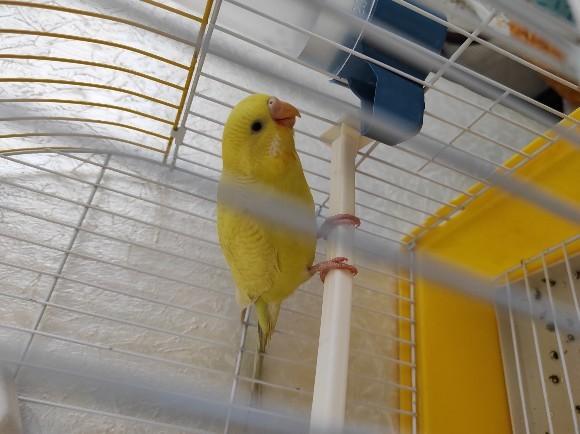 Muhabbet kuşum dişi mi erkek mi?