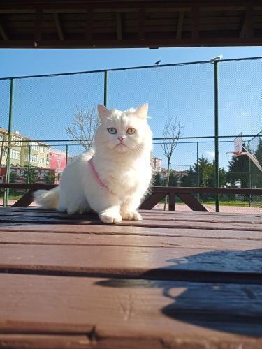 Kedimi neden Van kedisi sanıyor bu i̇nsanlar?