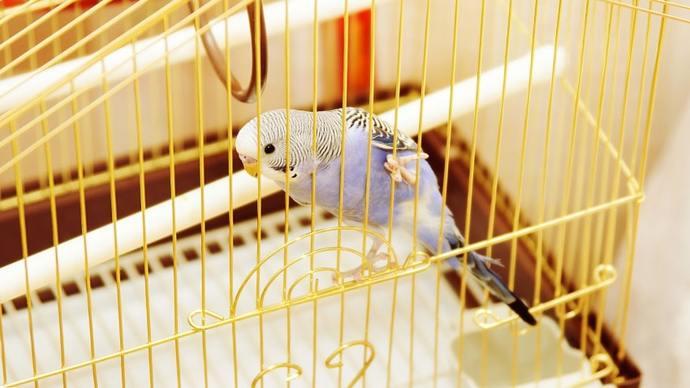 Kuşlar kafeste mi daha güzel, doğada mı?