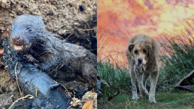 Hayvanlar yanıyor, ormanlar yanıyor, içimiz yanıyor. Telef olan hayvanlara bile acımadan bu işi yapanlar kim?