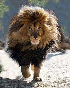Sizce safkan bir kangal yetişkin bir aslanı teke tek de alabilir mi?