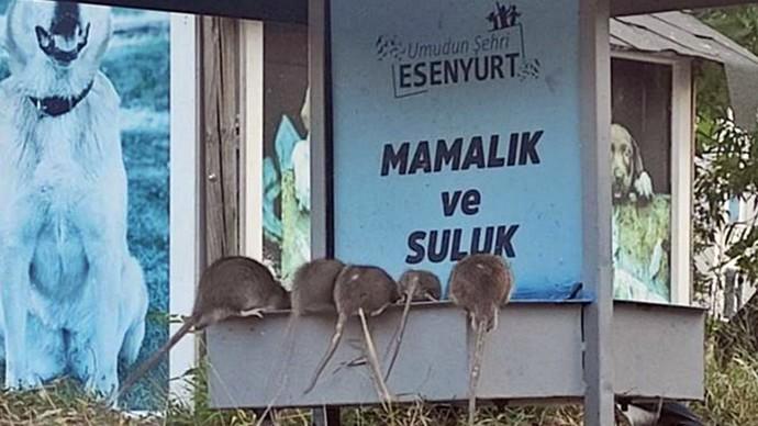 Dev fareler sokaklarda! Evinizde fare görürseniz ne yaparsınız?