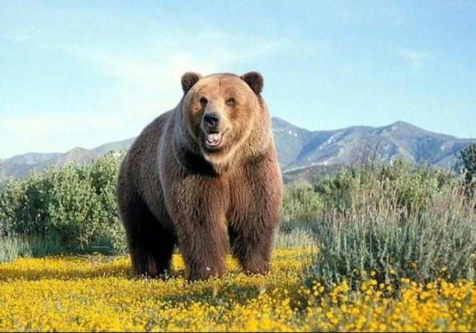 Sibirya kaplanı ile dev bir boz ayı kapışsa hangisi alır?