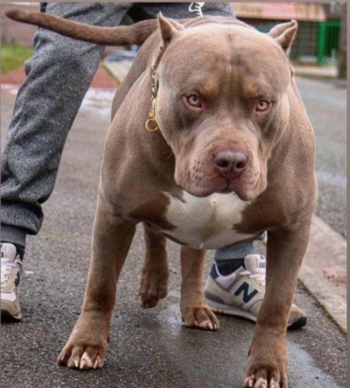 American Pitbull Terrier mi Çin Aslanı mı?