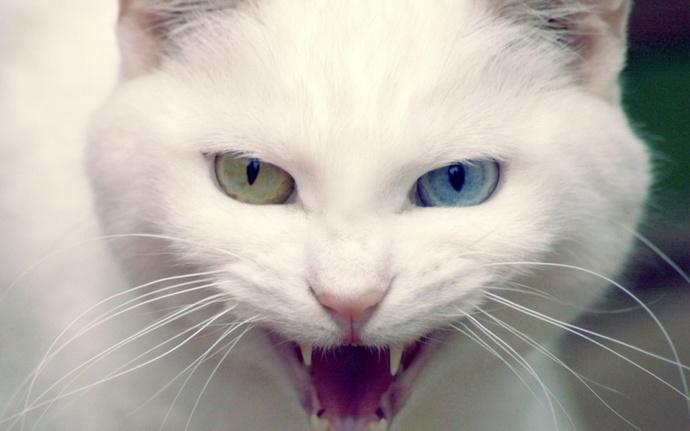 Van kedisi dünyanın en saldırgan kedisi seçildi! Sizce de olabilir mi?