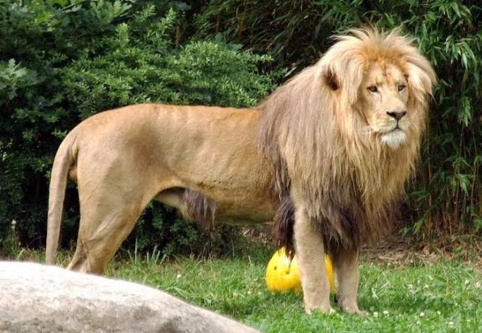 Tek bir aslan dev bir kanada kurdu ile başa çıkabilir mi?
