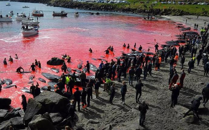 Danimarkada 1428 yunus katledildi! Yunus avlama festivali hakkında ne düşünüyorsunuz?