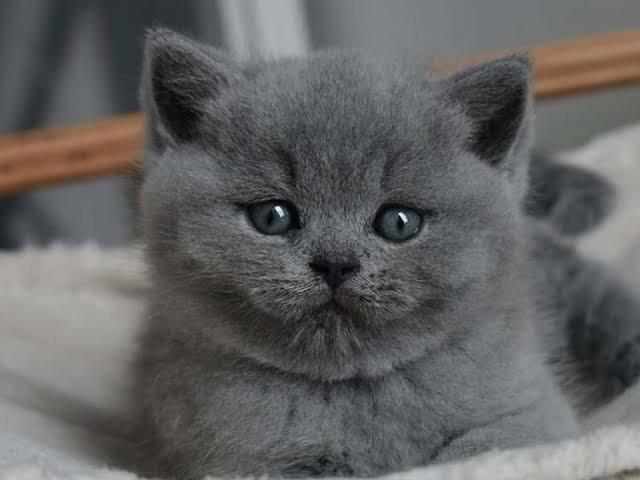 Cins kedi bebekleri olan var mı?