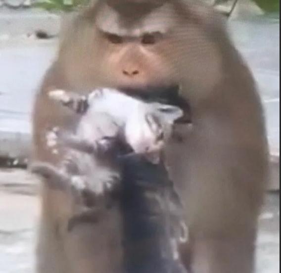 Maymunlar, evcilleri muz için rehin tutuyor! Evciliniz rehin alınsaydı serbest kalması için kaç kilo muz verirdiniz?