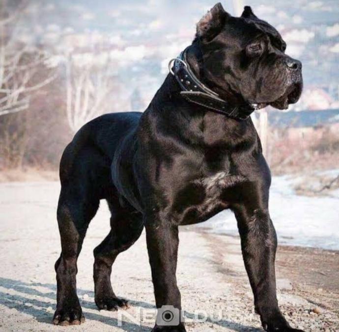 Sizce Dogo Arjantin köpeği mi daha iyi Cane Carso mu?