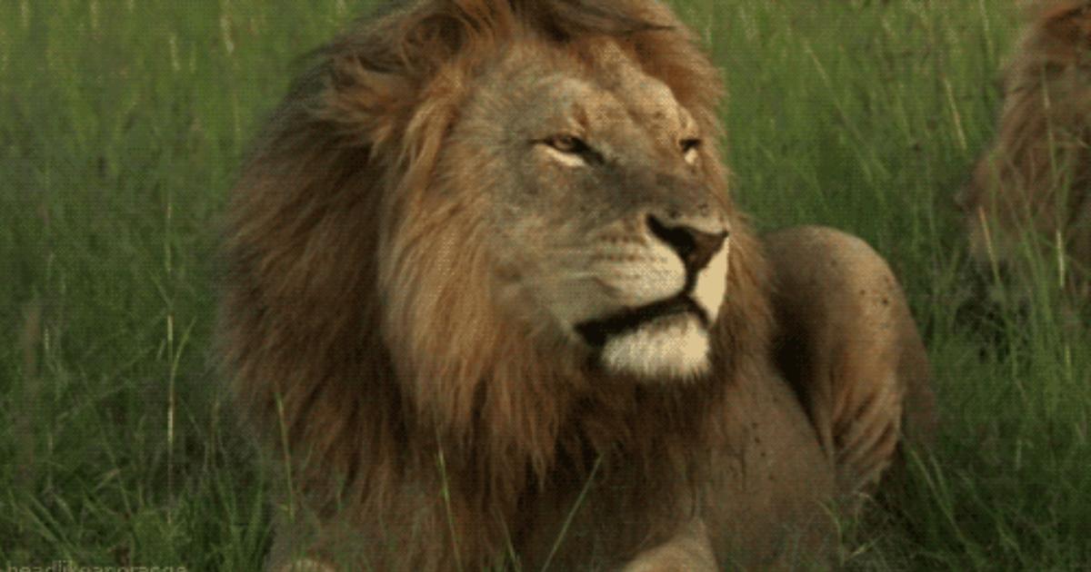 Картинки анимации львов